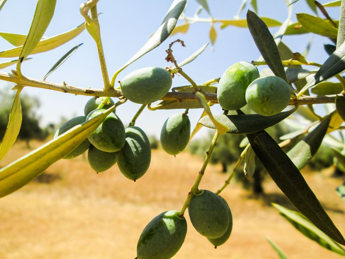Olive oil tasting in Alentejo, Portugal | Authentic experience