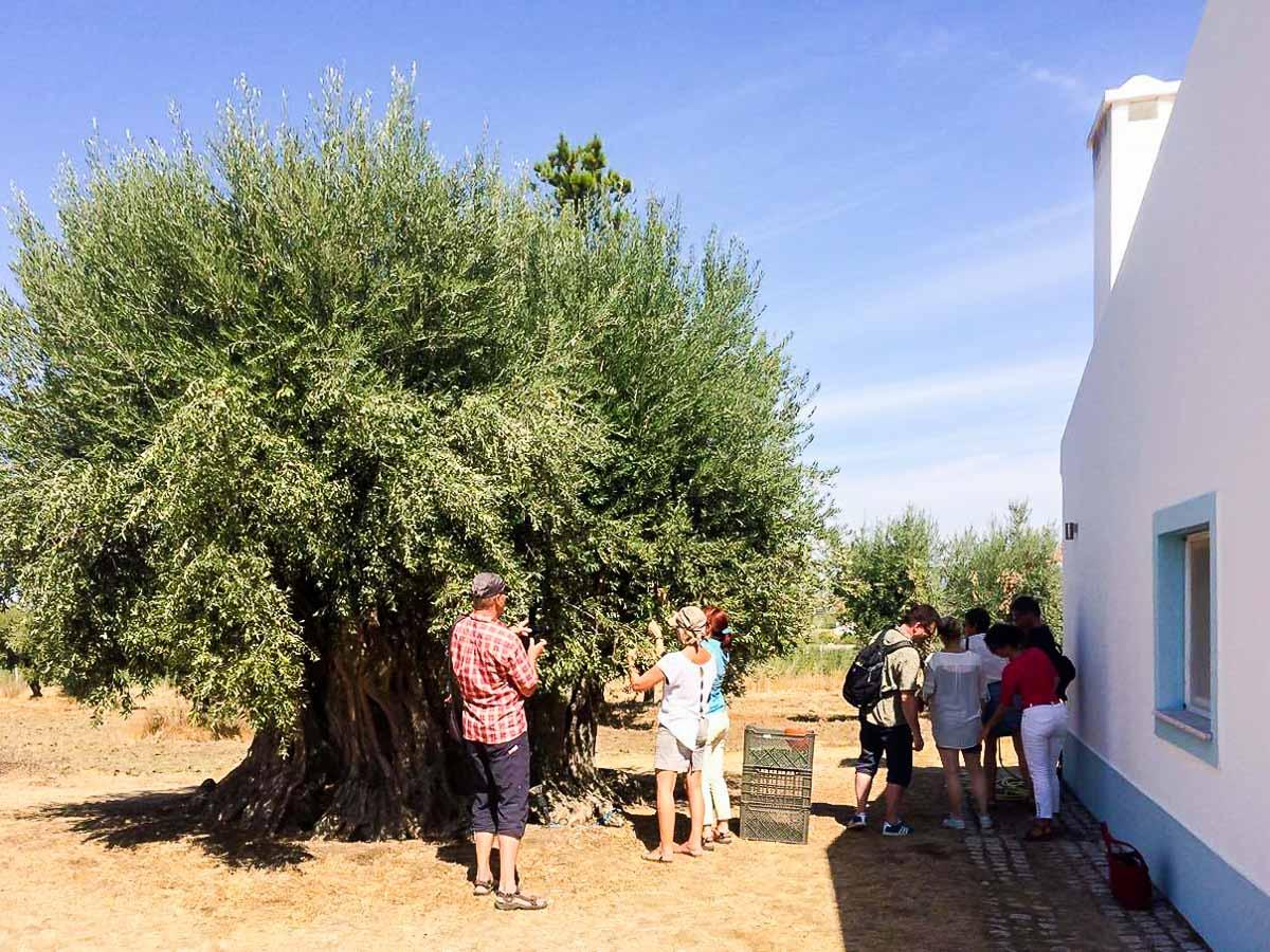 aceite oliva cata portugal