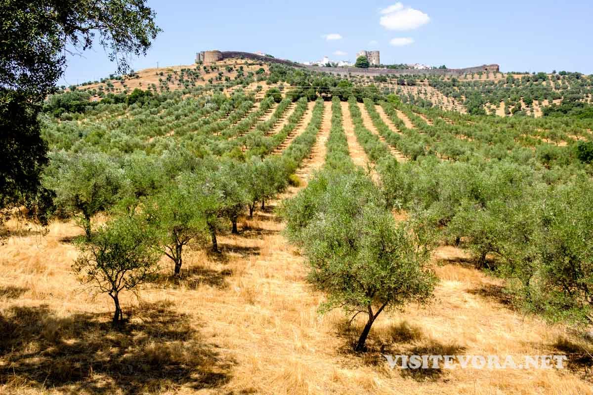 oliveiras alentejo evoramonte
